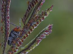 orvalho (W & V) Tags: orvalho macrofotografia em campo animal jardim miúdo niudo contraste linda gotículas manha mata foco