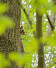 Squirel (Graham - bell) Tags: squirel nut tree leaves conishead priory bardsea cumbria nikon d7100