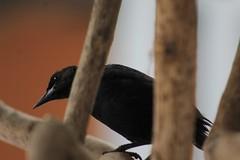 IMG_2882 (JennaF.) Tags: pajaro ave negro arboles ramas blackbird lima universidad antonio ruiz de montoya uarm jardin horacio ojos