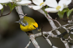 Blue Winged Warbler (Jesse_in_CT) Tags: bluewingedwarbler nikon200500mm
