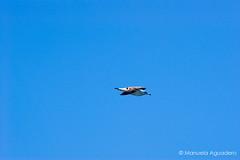 #gaviota #seagull #2016 # #animal #ave #bird #fowl #cielo #heaven #sky #cieloazul #bluesky #azul #blue #volar #fly #naturaleza #nature #photography #photographer #picoftheday #sonyalpha #sonyalpha350 #sonya350 #alpha350 (Manuela Aguadero) Tags: blue picoftheday volar seagull azul cieloazul photography sky 2016 bird sonyalpha bluesky sonya350 sonyalpha350 gaviota cielo animal ave nature heaven photographer fowl fly alpha350 naturaleza