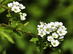 Spiraea × arguta - Brautspiere (Kat-i) Tags: spiraea×arguta brautspiere zierstrauch bush macro weiswhite makro frühling spring outside garten garden nikon1v1 kati katharina 2017