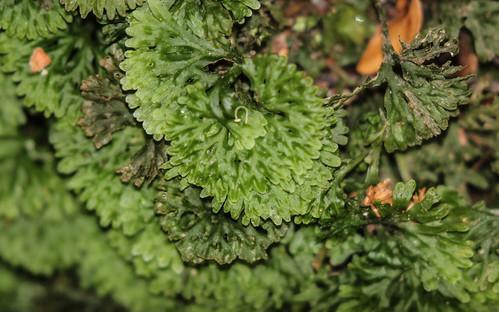 Hymenophyton flabellatum