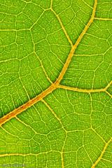 Leaf Veins (nagyistvan8) Tags: nagyistván túrkeve magyarország magyar hungary nagyistvan8 természet nature színek colors zöld sárga piros green yellow red levél leaf leaves veins macro háttérkép background spring tavasz ngc növény plant macromondays hmm member'schoiceintothewoods 2017 nikon abstract absztrakt