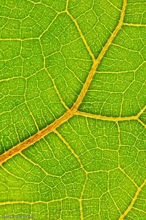 Leaf Veins