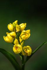 DSC_2641 (Darjeeling_Days) Tags: macro nature 南大沢 金蘭 銀蘭 華 花 絶滅危惧種 雑木林 flower チューリップ