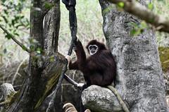 Siamang (大長臂猿) (scv1_2001) Tags: nikon nikon70200mmvrii nikond750 taiwan taipeizoo 台北市立動物園
