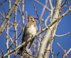 Björktrast - Fieldfare - Turdus pilaris (Peter Dahlgren) Tags: animal bird björktrast branch djur europe feathering feathers fieldfare fjäderdräkt fjädrar fågel fåglar gren grenar natur nature spring sweden turduspilaris vingar vår wings