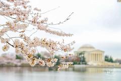 600_5438 (VMP photography) Tags: sakura washington cherryblossom tree travel capitol usa united unitedstates landmarks monuments jefferson lincoln