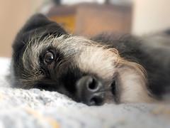 P4280047 (s_hallman55) Tags: face dog nose eyes fur beard love family animal companion