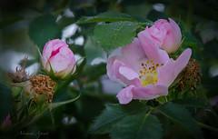 2 maggio 2017. Rosa canina (adrianaaprati) Tags: fiore fleur blume flower flowering openair outdoors parco park natura wildlife beauty lightness landscape sfocatura blur rome italy rosa rose pink rosacanina plinioilvecchio maggio may bocciolo bud dew rugiada