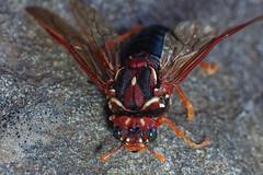 Pergaprapta turneri (gadims) Tags: insectstasmaniahobart ferntree wasp