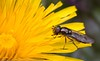 Picking up pollen (kimbenson45) Tags: brown closeup colorful colourful daisy differentialfocus flower hoverfly insect macro nature petals plant pollen shallowdepthoffield stamens wildlife yellow