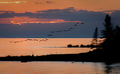 Coming Back for Summer (T P Mann Photography) Tags: breezeway atwood michigan lake pure puremichigan sun sunset sundown silhoyuettes geese fly flying shores beach trees orange sky clouds