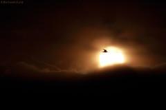 Into the sunset (bertrand kulik) Tags: sunset bird oiseau cloud nature