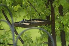 On the Platform (joeldinda) Tags: nikon d300 nikond300 2012 home mulliken potter yard feeder branch leaves leaf bird nuthatch 1588 may 125366 onthisdate