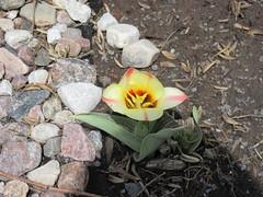** Notre première tulipe ** (Impatience_1 (peu...ou moins présente...)) Tags: tulipe tulip fleur flower mai may m impatience saveearth supershot coth fantasticnature alittlebeauty abigfave coth5 sunrays5
