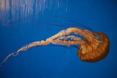 IMG_0583 (tommcgorman) Tags: jellyfish cnidarian aquarium norwalk maritime