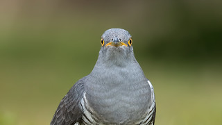 Friendly Cuckoo