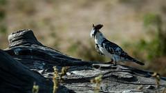 Kingfisher Pied-31.jpg (michael heyns) Tags: bontvisvanger botswana2017 piedkingfisher