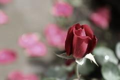 Queen of flowers (superhic) Tags: red rose flower beautiful crvena ruža cveće