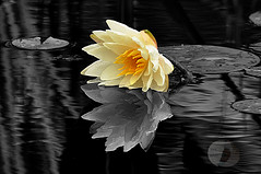 Feeling low.. (firstlookimages.ca) Tags: art artistic artisticmanipulation digitalmanipulation digitalart digitalphotography detail monochrome nature natureportrait outdoors lilypads water waterplants waterlily flowers hss