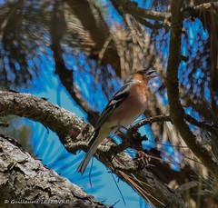 A la pause déjeuner, le pinson chantait (Guillaume7762) Tags: pinson oiseau mâle pin chant siffleur branche épines bird faune vogel parajo