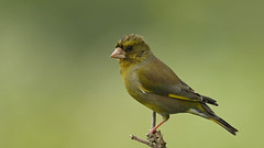 Greenfinch ~ Chloris chloris {explored} (Cosper Wosper) Tags: greenfinch chlorischloris bbc winterwatch 2018 greylake somersetlevels