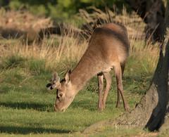 Red-Deer-8074 (Kulama) Tags: reddeer deer stag autumn nature wildlife woods grass bracken fern spring morning canon7dmarkii sigma150600563c