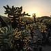 Cholla Cactus Gardens - Joshua Tree National Park, California