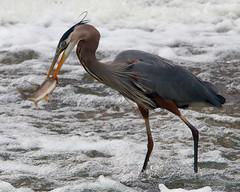 fishing in the falls (jlp771) Tags: oiseau bird heron fish poisson blood sang