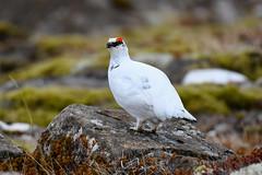 Rjúpa - Rock Ptarmigan - Lagopus muta (oskar.sigurmundason) Tags: rjúpa rock ptarmigan lagopus muta island iceland nikon d500 sigma 150600 sport national geographic ngc nature birds birding