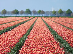 Tulip fields (EvelienNL) Tags: tulip tulips flower flowers field flowerfield flowerbed bulbfield bloemen tulpen bollenveld bollenvelden tulpenveld tulpenvelden bloemenveld bloemenvelden colourful dutch holland netherlands flevoland flevopolder orange oranje row rows rijen perspective