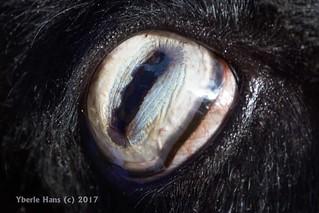 Eye of a Quessant Sheep / Breton Dwarf