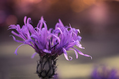 Sony a7 50mm (Jasrmcf) Tags: ilce7 sel50f18f sonya7 sony sonyalpha macro macrotube macros dof detail depthoffield delicate smooth blur bokeh bokehlicious bokehgraph purple flower flowers garden nature ngc 50mm vintage dreamy beautiful
