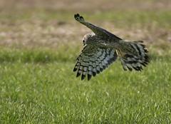Hen harrier strutting its' stuff (Jaedde & Sis) Tags: blåkærhøg circuscyaneus henharrier raptor flight challengefactorywinner thechallengefactory