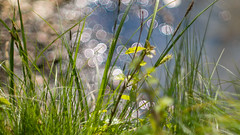 green grass of spring (Sabinche) Tags: grass green bokeh yashinon 5014 hbw olympus sabinche