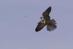 Hobby hunting (falco subbuteo) (PINNACLE PHOTO) Tags: falcosubbuteo falcon flying hobby hunting dragons dragonfly eating fast reallyfast raptor avian bird birdofprey eurasian feathers flight heathland inflight low migratory martinbillard canon canon7dii canon500mmf4is