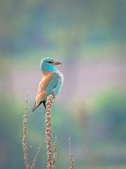 Ghiandaia marina (giansacca) Tags: ghiandaiamarina animali animals animaux aves vogel oiseaux uccelli birds coraciasgarrulus