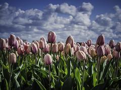 P4230160 (Finalfoto.nl) Tags: tulpen bollen tulps kleuren tulp tulips rood geel groen bloemen bloem