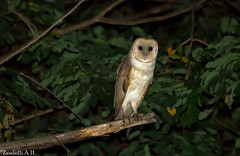 Tyto furcata (azambolli) Tags: ave brasil bird coruja suindara owl tyto animal nature natureza
