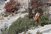Piqué du Gypaète (mirage 31) Tags: accipitridés accipitriformes aragon beardedvulture espagne gypaetusbarbatus gypaètebarbu bird oiseau