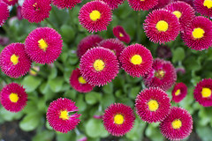 Bellis Papathy (Kirlikedi) Tags: bellis colorful daisy english flower meadow pompon red revel view yellow