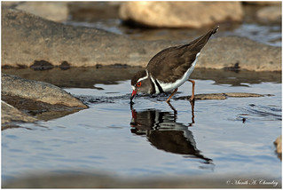 The Red-eyed Plover!