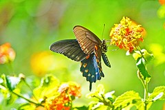 FOREVER FREE (Irene2727) Tags: green butterfly wings nature fauna flowers flora bokeh outdoors