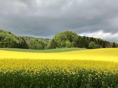 Bergdietikon im Mai (krueesch) Tags: unwetter himmel farbenspiel natur naturpur colours farbenprächtigen farbenpracht rapsfeld blumenwiese naturschutzgebiet bergdietikon blumen landschaft wiese