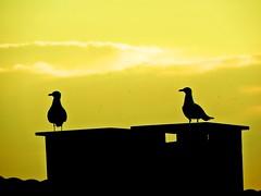 sililuet (bilal güldoğan) Tags: silhouette sky skyline sony sunset serene kuş martı seagull nikon nikonp600 nature nikoncoolpixp600 night bird