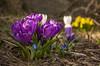✾ Remembering Early Spring ✾ (Ranveig Marie Photography) Tags: crocus croci crocuses krokus vår spring mars march garden