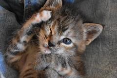 Gata se peina (CesarFresno) Tags: animal felinos gato cat