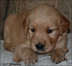""" A Golden Moment ! "" (John Neziol) Tags: kjphotography goldenretriever fieldretriever pointynoseddogs interestingdogposes nikon nikondslr nikoncamera portrait puppy pet dognose dog animal"